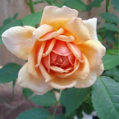Rose Grace (engelsk rose) , barrodet