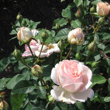 Rose 'Clair Renaissance' (renaissance rose)  barrodet