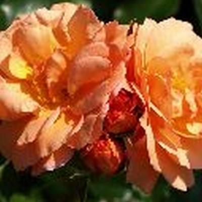Rose 'Aprikola' (buketrose) barrodet