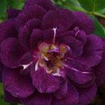 Rose Midnight Blue (buketrose), barrodet