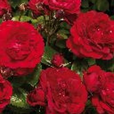 Rose 'Capricia Renaissance' (renaissance rose) barrodet