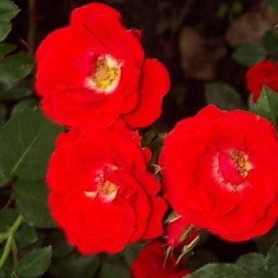 Rose 'Charming Cover' (bunddækkerose) barrodet