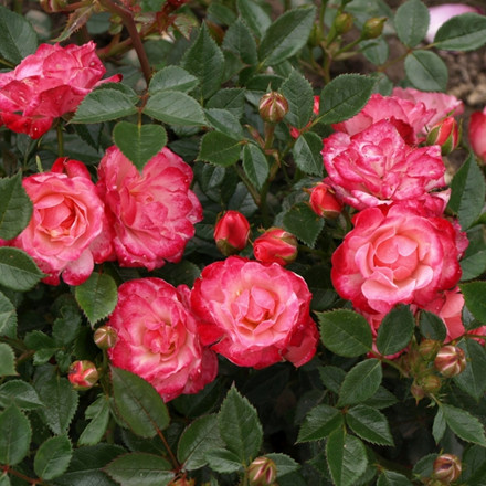 Rose Teeny Weeny (miniature rose), barrodet