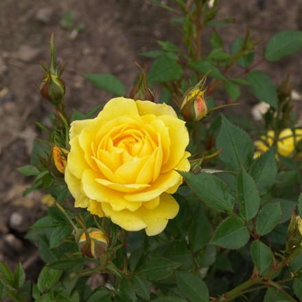 Rose Sun Hit (bunddækkerose) , barrodet