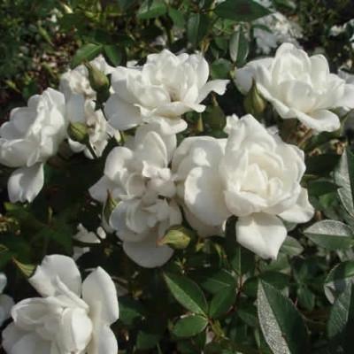 Rose White Cover (bunddækkerose) , barrodet