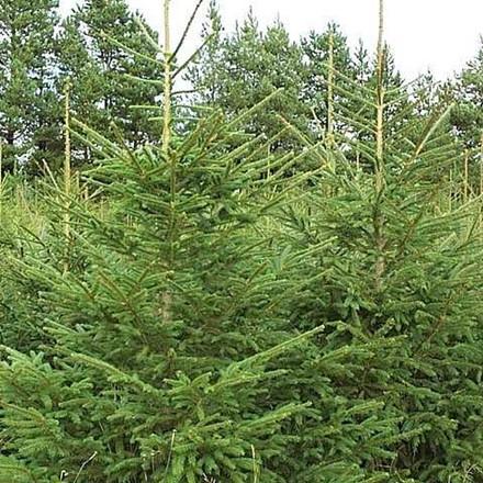 Picea abies (Rødgran) Salgshøjde: 30-50 cm.  (Barrodet bdt. m/25 stk)