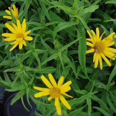 BUPHTHALMUM salicifolium (Tusindstråle)