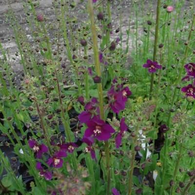 VERBASCUM phoenicum 'Violetta' (Kongelys)