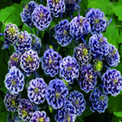 AQUILEGIA vulgaris 'Winky Double Blue White' (Akeleje)