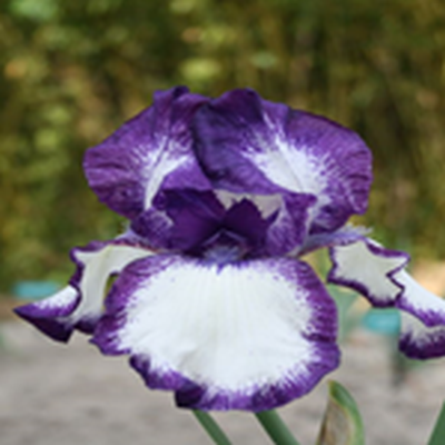 IRIS germanica 'Going My Way' (Haveiris)