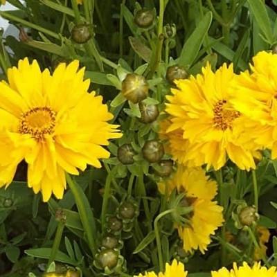 COREOPSIS grandiflora 'Sunray' (Skønhedsøje)