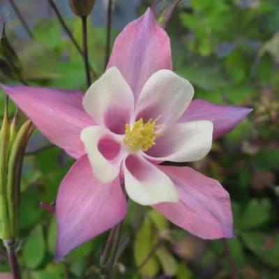 AQUILEGIA caerulea 'Spring Magic' rosa/white (Akeleje)