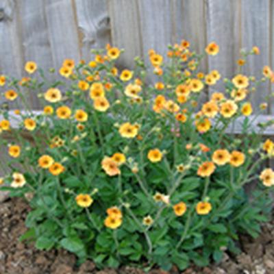 GEUM hybrid 'Totally Tangerine'® (Nellikerod)