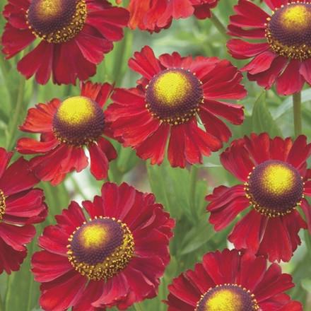 HELENIUM hybrid 'Ruby Tuesday'® (Solbrud)