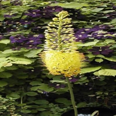 EREMURUS stenophyllus (bungei) (Kleopatras Nål)