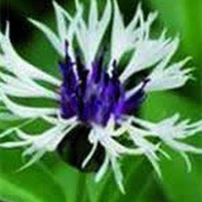 CENTAUREA montana 'Amethyst in Snow'® (Knopurt)
