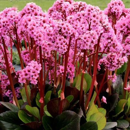 BERGENIA hybr. 'Spring Fling'® (Kæmpestenbræk)