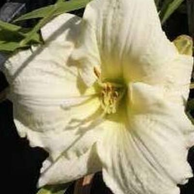 HEMEROCALLIS hybrid 'Deicer' (Daglilje)