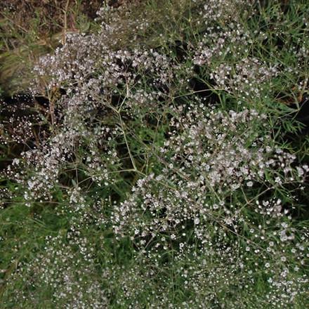 GYPSOPHILA paniculata (Brudeslør)