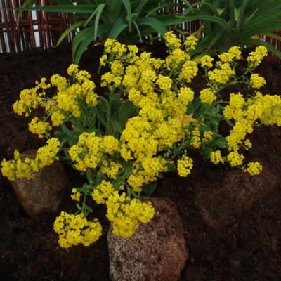 AURINA saxatile 'Goldkugel' (Alyssum) (Guldslør)