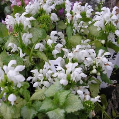 LAMIUM maculatum 'White Nancy' (Plettet Tvetand)