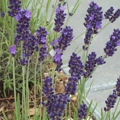 LAVANDULA angustifolia 'Hidcote Blue' (Lavendel)