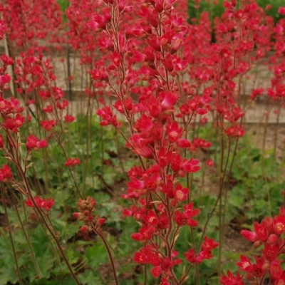 HEUCHERA brizoides 'Pruhoniciana' (Alunrod)