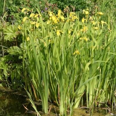 IRIS pseudocorus (Iris)