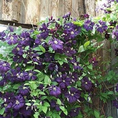 Clematis viticella 'Etoile Violette' (Italiensk Skovranke) salgshøjde 20-50 cm.