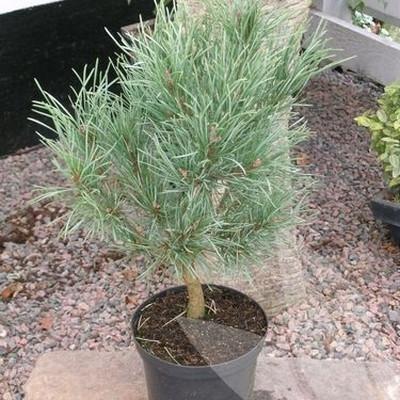 Pinus sylvestris 'Watereri' - salgshøjde.: 40-50 cm. - Skovfyr
