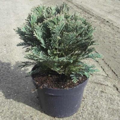 Chamaecyparis lawsoniana 'Minima Glauca' - salgshøjde.: 15-20 cm. - Cypres