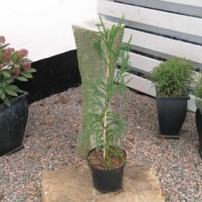 Cryptomeria japonica 'Rasen Sugi' - salgshøjde.: 60-80 cm. - Kryptomeria