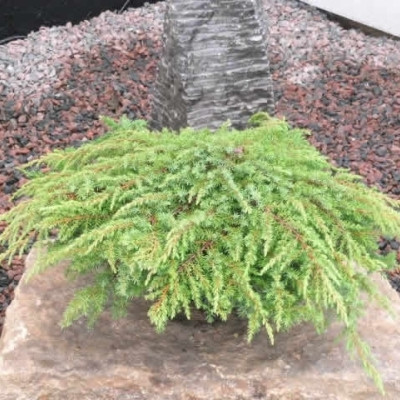 Juniperus communis 'Green Carpet' - salgsbredde.: 20-30 cm.