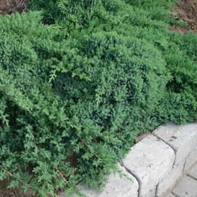 Juniperus procumbens 'Nana' - salgsbredde.: 20-30 cm. - Enebær