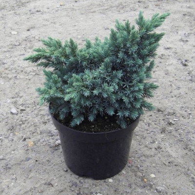 Juniperus squamata 'Blue Star' - salgshøjde.: 15-25 cm. - Enebær