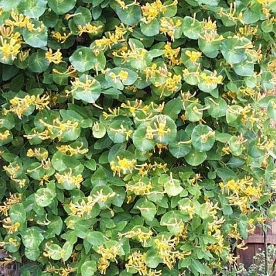 Lonicera tellmanniana (Kaprifolie) salgshøjde 20-50 cm.