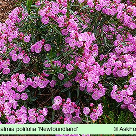 Kalmia polifolia 'Newfoundland' Salgsh. 5-10 cm. - Kalmia (GS)