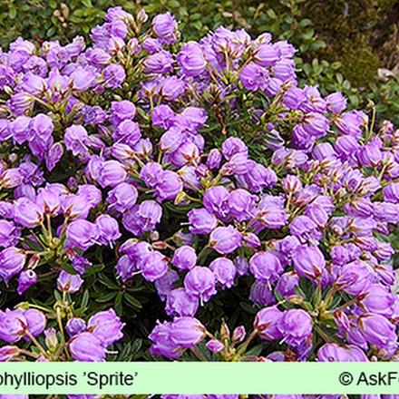 x Phylliopsis 'Sprite' Salgsh. 5-10 cm. (GS)