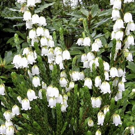 Cassiope hybrid 'Edinburgh' (Kantlyng)