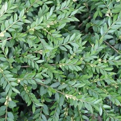 Lonicera 'Pileata' (Ligustergedeblad)
