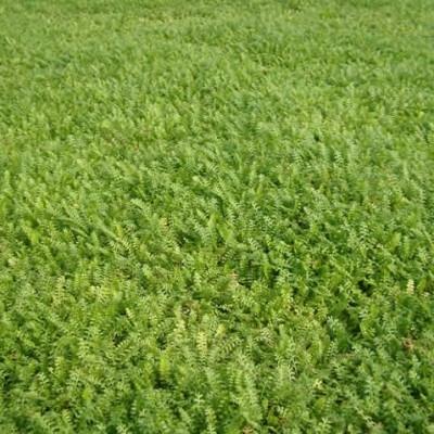 LEPTINELLA (Cotula) squalida (Trædebregne)
