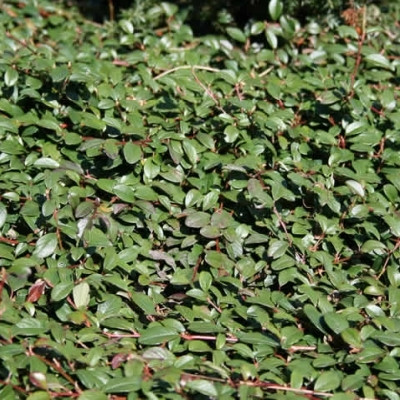 Cotoneaster 'Dammeri Rami' (Dværgmispel)