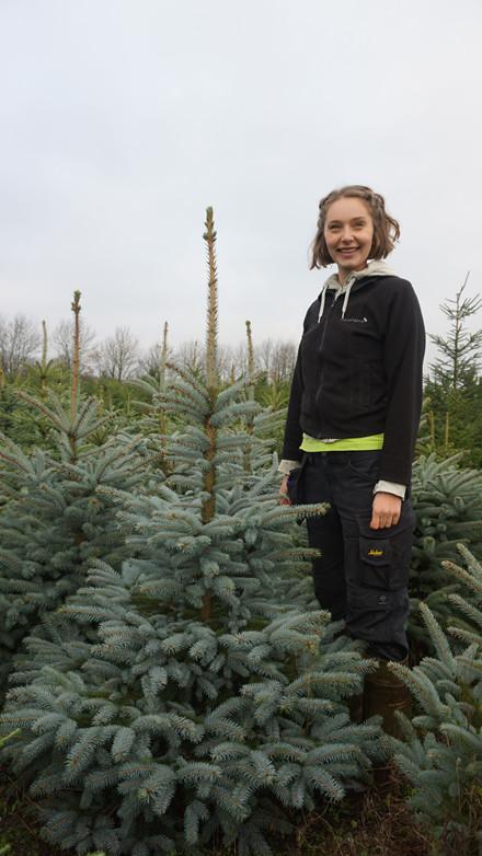 Picea pungens glauca -Blågran Salgshøjde: 100-125 cm klumpplante