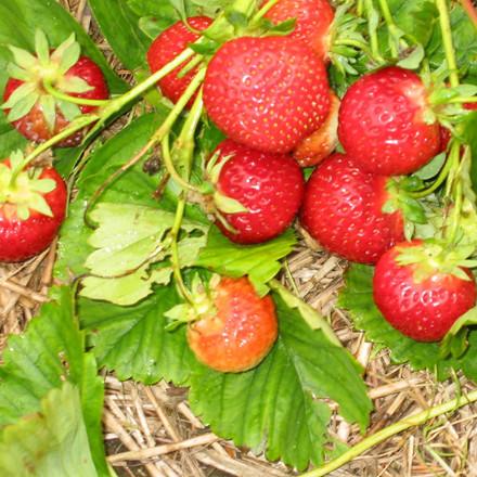 Fragaria × ananassa 'Polka' (Jordbær) - 5 stk
