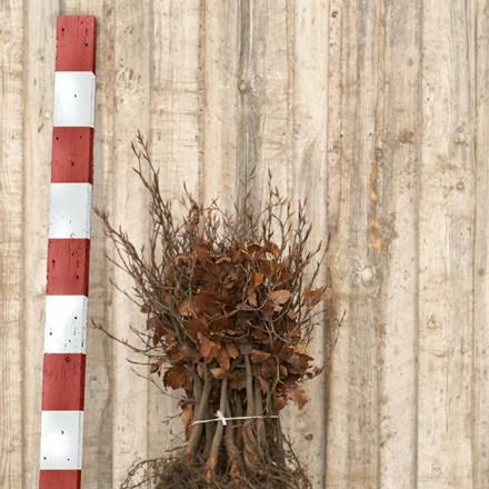 Fagus sylvatica - Alm. Bok - Försäljningshöjd: 2 år 15-30 cm. (Barrodt)