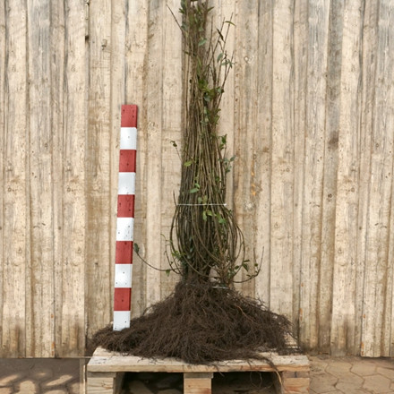 Ligustrum vulgare 'Liga' (Liguster) Försäljningshöjd: 2 år 120-150 cm. (Barroded)