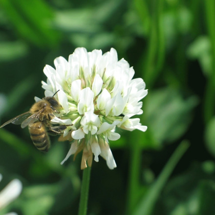 Hvidkløver Trifolium repens - flerårig - 10 kg. sæk - Frø (P736810)