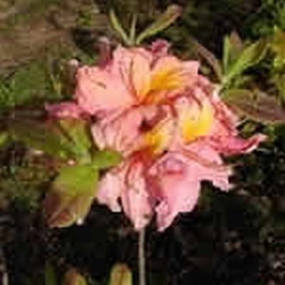 Rhododendron 'Berryrose' (Azalea-hybrid) - Salgshøjde: 30-50 cm.