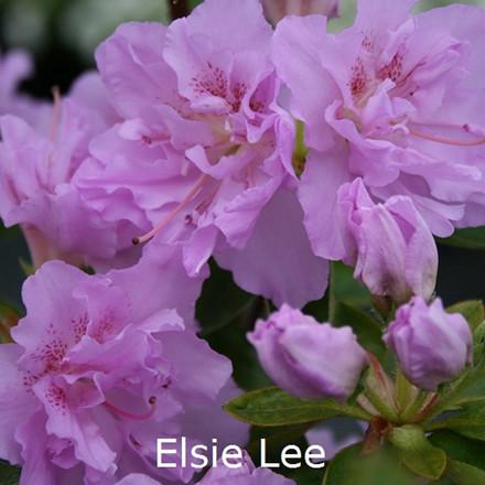 Rhododendron (Japansk azalea) 'Elsie Lee'    - Salgshøjde: 15-30 cm. (BA)