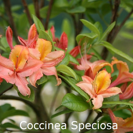Rhododendron (Azalea-hybrid) 'Coccinea Speciosa'   - Salgshøjde: 30-50 cm.(BA)